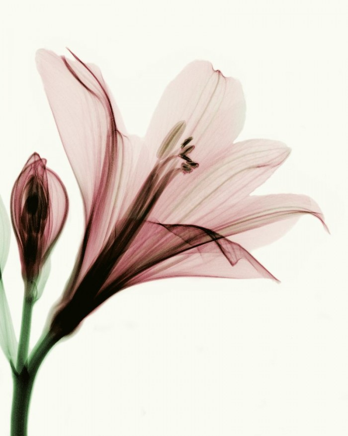 x_ray_flower_by_coopr-d3fb57g