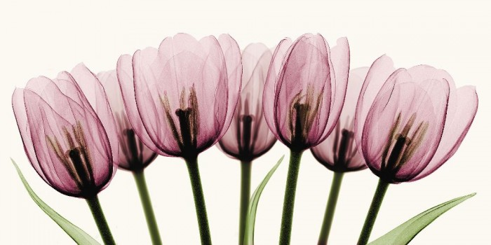 x_ray_of_tulips_by_coopr-d3ggx3m
