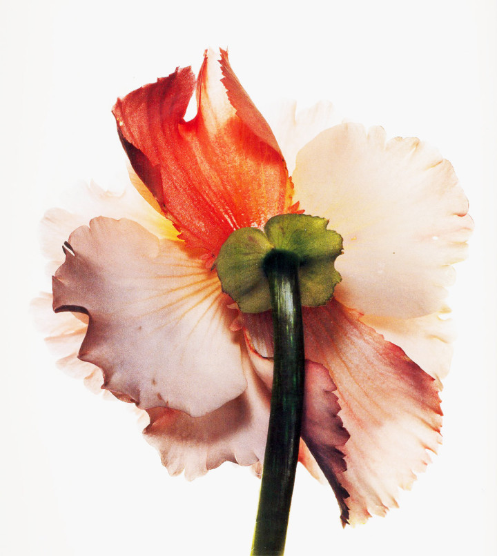 Irving-Penn_Flower_2-720x806