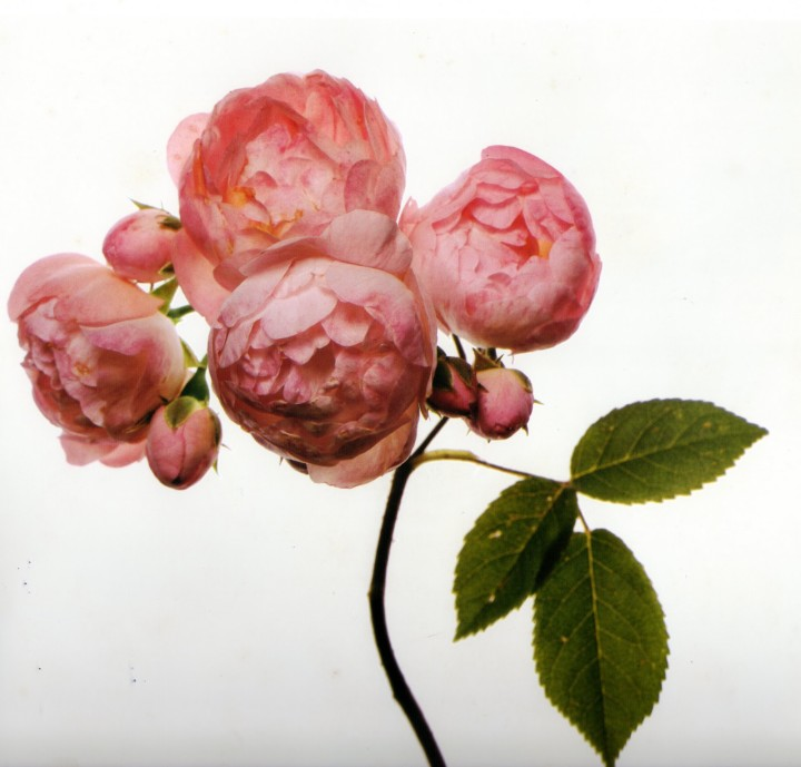 Irving-Penn_Flower_4-720x689